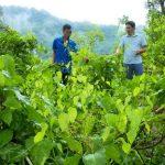 Rau bò khai là đặc sản của núi rừng Lạng Sơn